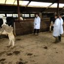 Dairy Stock Judging